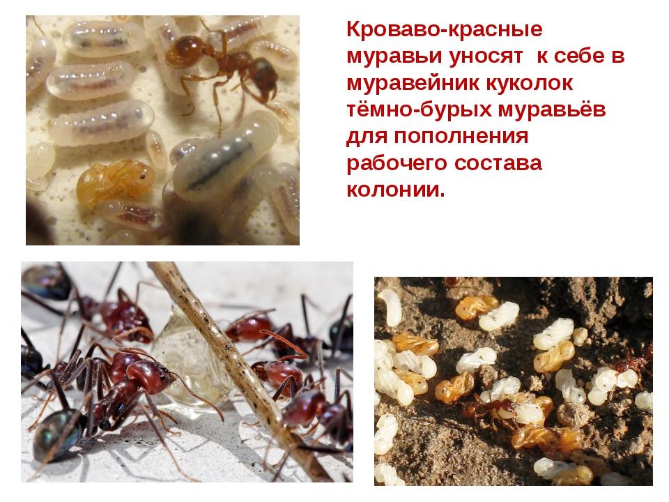 Кроваво-красные муравьи уносят к себе в муравейник куколок тёмно-бурых муравь...