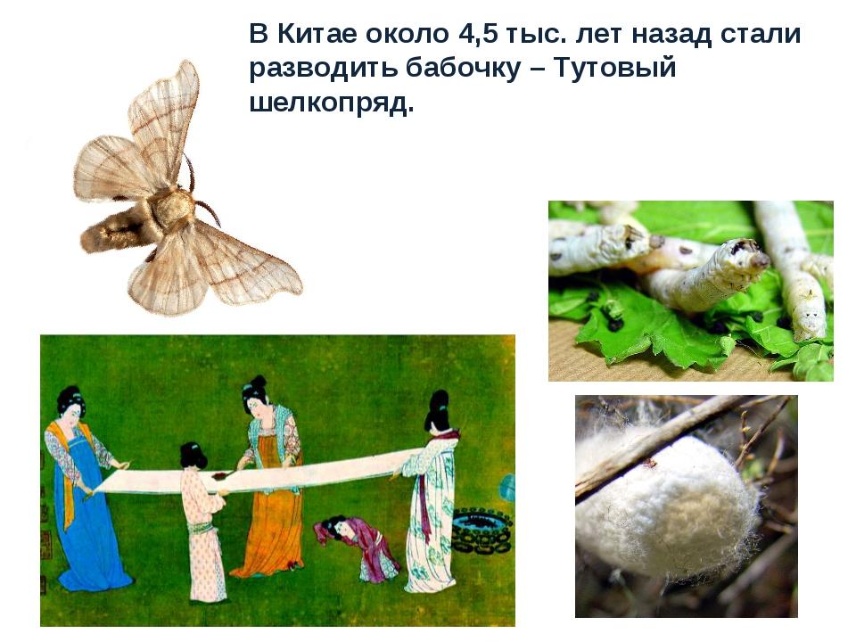 В Китае около 4,5 тыс. лет назад стали разводить бабочку – Тутовый шелкопряд.