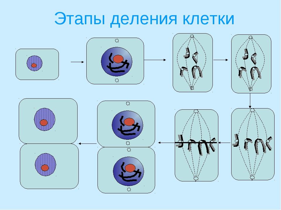 Этапы деления клетки