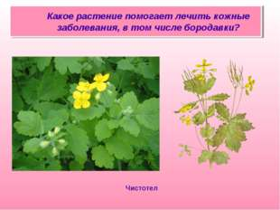 Какое растение помогает лечить кожные заболевания, в том числе бородавки? Чи