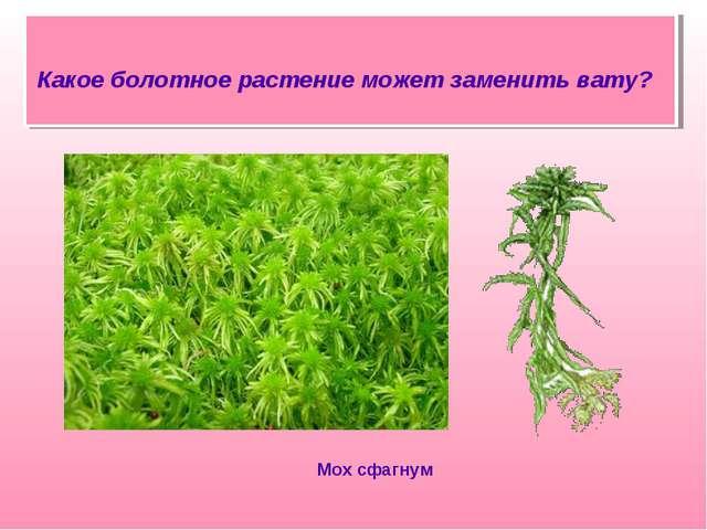 Какое болотное растение может заменить вату? Мох сфагнум