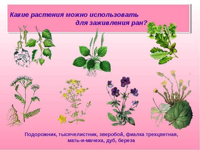 Какие растения можно использовать для заживления ран? Подорожник, тысячелистн...