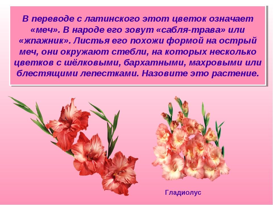 В переводе с латинского этот цветок означает «меч». В народе его зовут «сабля...