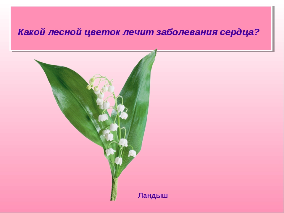 Какой лесной цветок лечит заболевания сердца? Ландыш