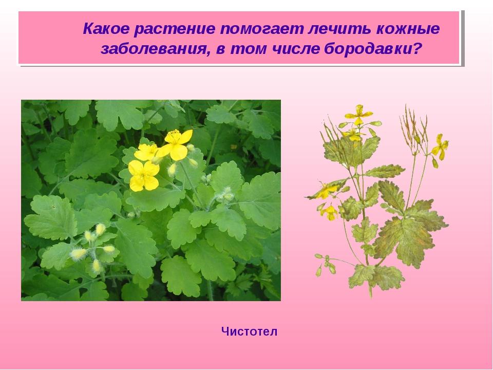 Какое растение помогает лечить кожные заболевания, в том числе бородавки? Чи...