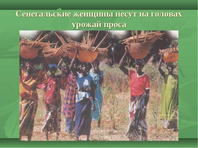Сенегальские женщины несут на головах урожай проса