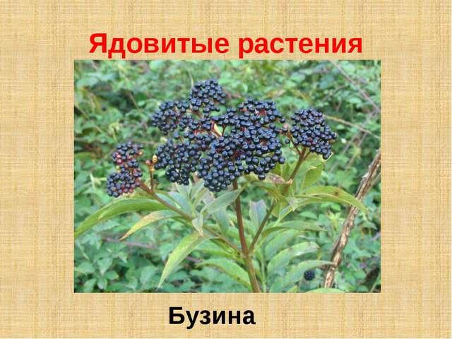 Ядовитые растения Бузина