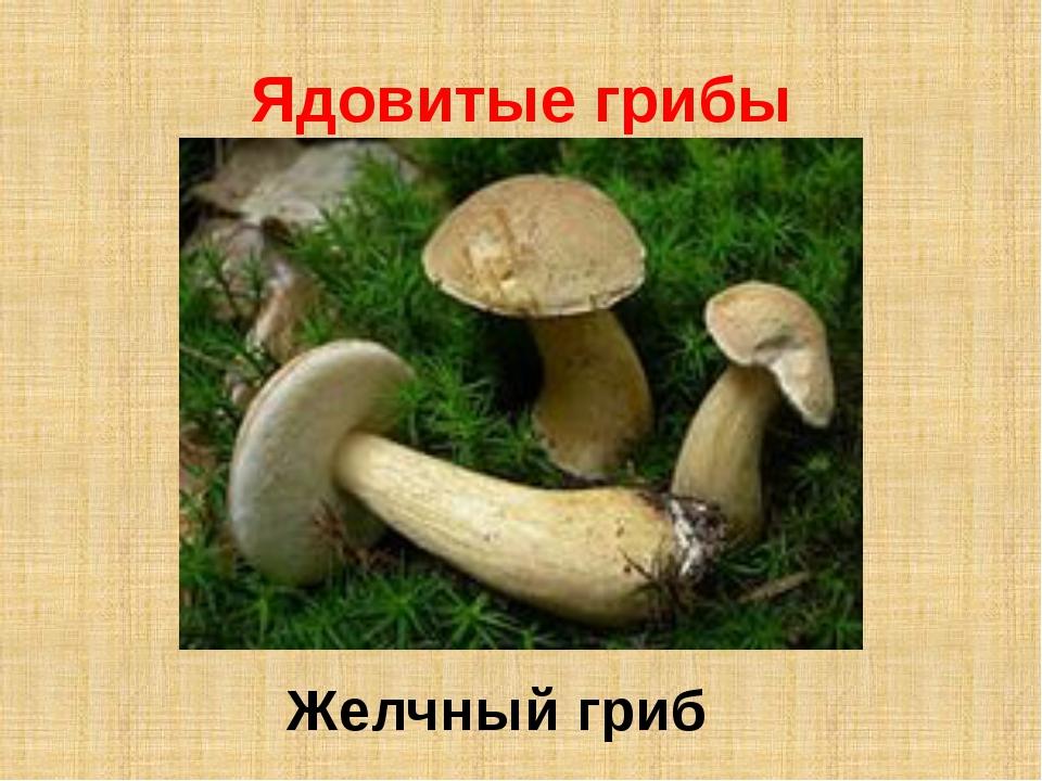 Ядовитые грибы Желчный гриб
