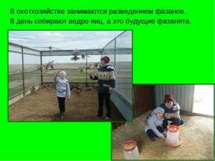 В охотхозяйстве занимаются разведением фазанов. В день собирают ведро яиц, а