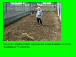 Особенно красив редкий королевский золотой фазан, которого выращивают охотов