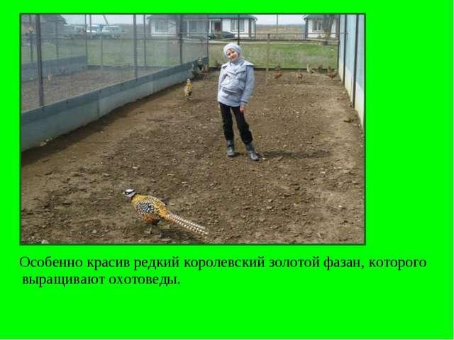 Особенно красив редкий королевский золотой фазан, которого выращивают охотов...