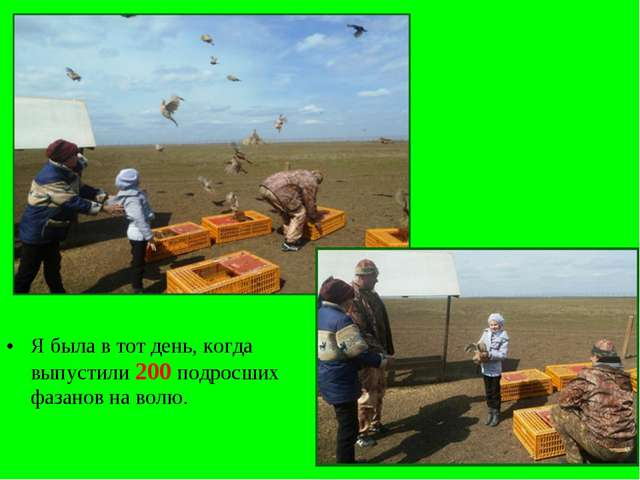 Я была в тот день, когда выпустили 200 подросших фазанов на волю.