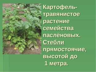 Картофель- травянистое растение семейства паслёновых. Стебли прямостоячие, вы