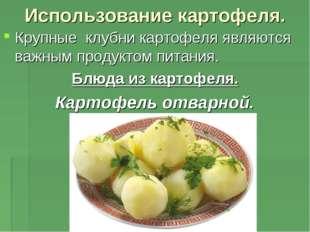 Использование картофеля. Крупные клубни картофеля являются важным продуктом п