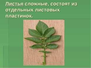 Листья сложные, состоят из отдельных листовых пластинок.
