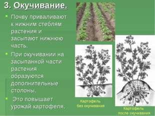 3. Окучивание. Почву приваливают к нижним стеблям растения и засыпают нижнюю