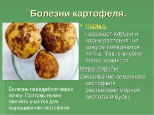 Болезни картофеля. Парша. Поражает клубни и корни растения: на кожуре появляю