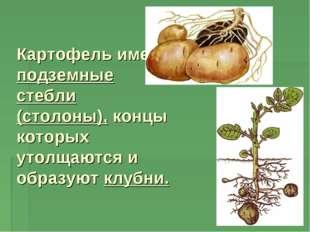 Картофель имеет подземные стебли (столоны), концы которых утолщаются и образу