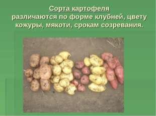 Сорта картофеля различаются по форме клубней, цвету кожуры, мякоти, срокам со
