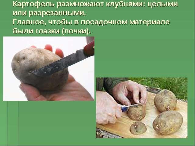 Картофель размножают клубнями: целыми или разрезанными. Главное, чтобы в поса...