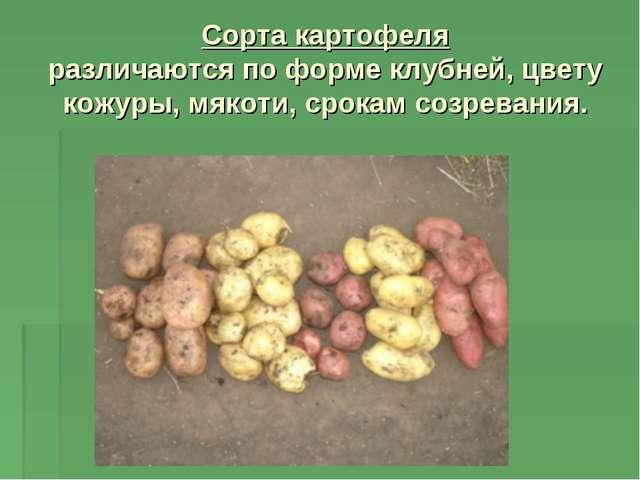 Сорта картофеля различаются по форме клубней, цвету кожуры, мякоти, срокам со...