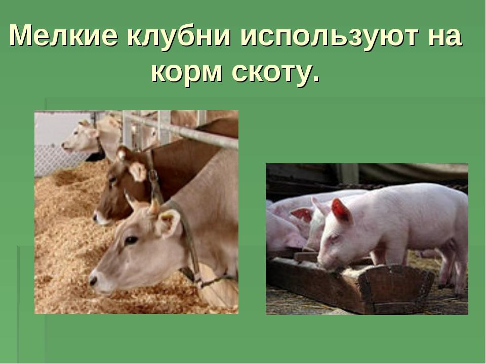 Мелкие клубни используют на корм скоту.