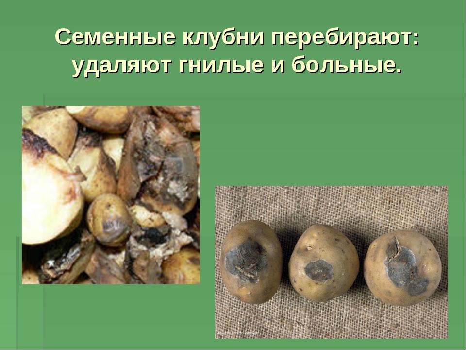 Семенные клубни перебирают: удаляют гнилые и больные.