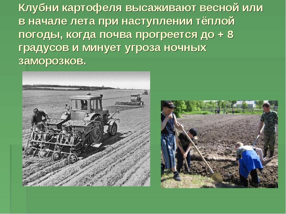 Клубни картофеля высаживают весной или в начале лета при наступлении тёплой п...