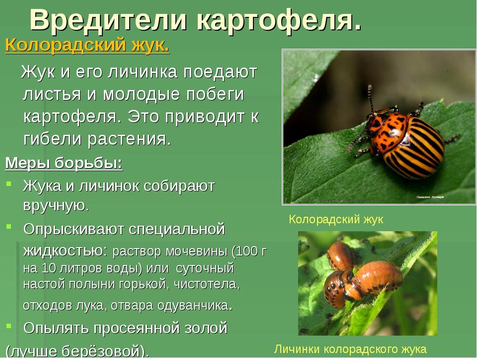 Вредители картофеля. Колорадский жук. Жук и его личинка поедают листья и моло...