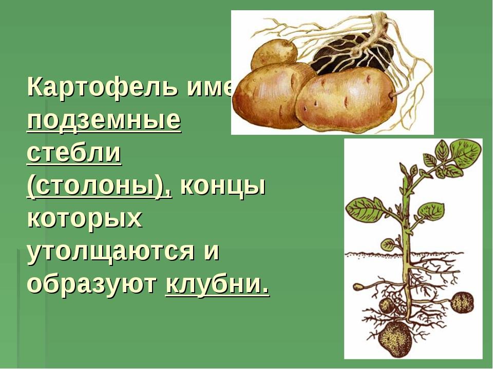 Картофель имеет подземные стебли (столоны), концы которых утолщаются и образу...