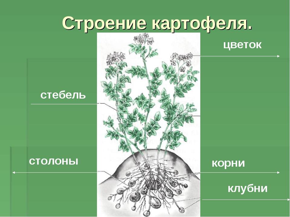 цветок стебель столоны корни клубни Строение картофеля.