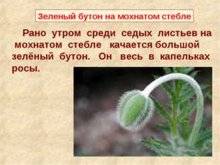 Рано утром среди седых листьев на мохнатом стебле качается большой зелёный б