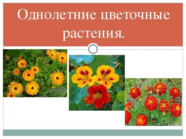 Однолетние цветочные растения.