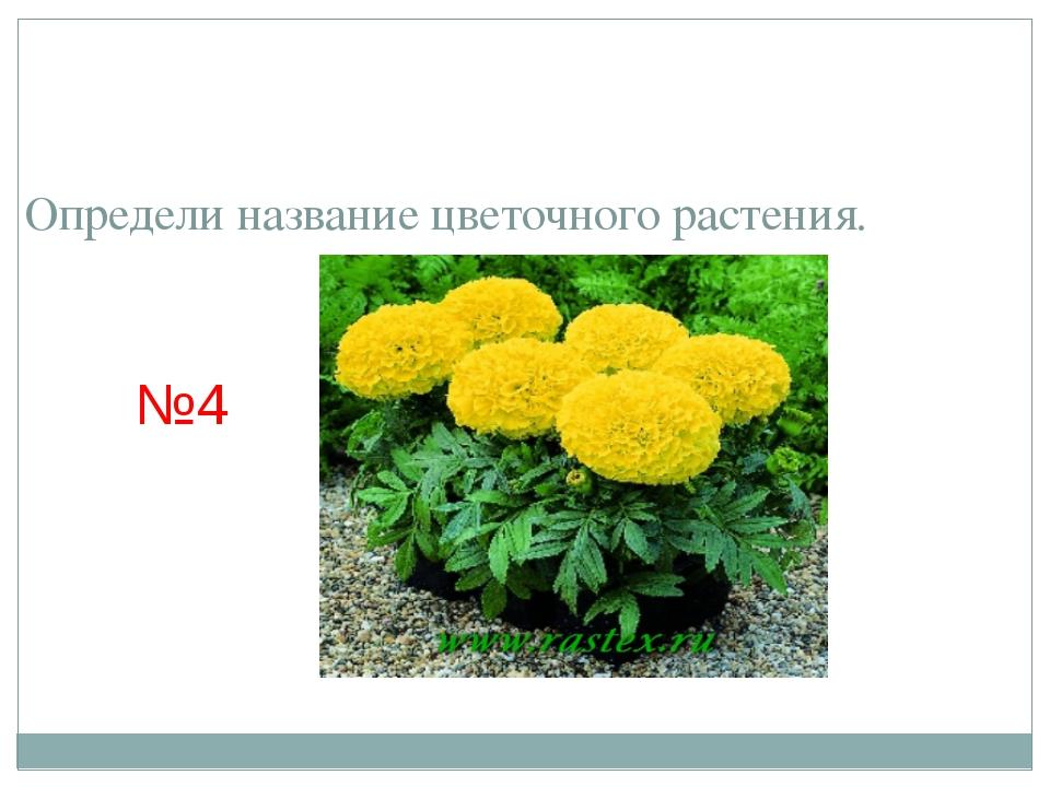 Определи название цветочного растения. №4