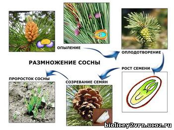 6-42_Razmnozh_sosni.jpg