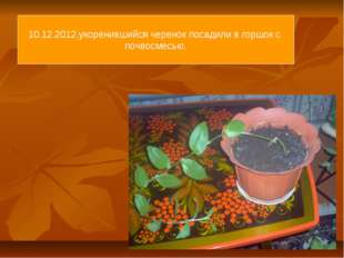 10.12.2012.укоренившийся черенок посадили в горшок с почвосмесью.