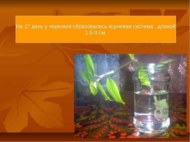 На 17 день у черенков образовалась корневая система , длиной 1,5-3 см.