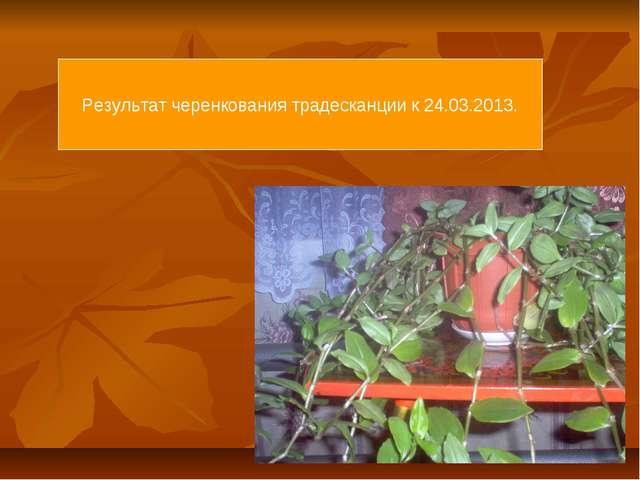 Результат черенкования традесканции к 24.03.2013.