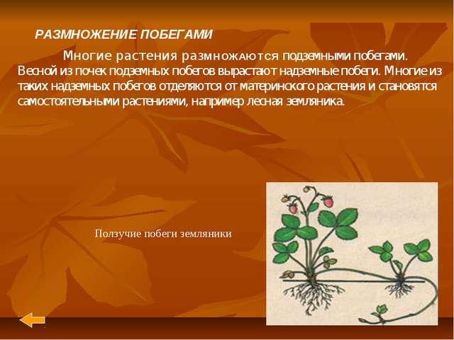 РАЗМНОЖЕНИЕ ПОБЕГАМИ Многие растения разМНОЖАЮТСЯ подземными побегами. Весно...