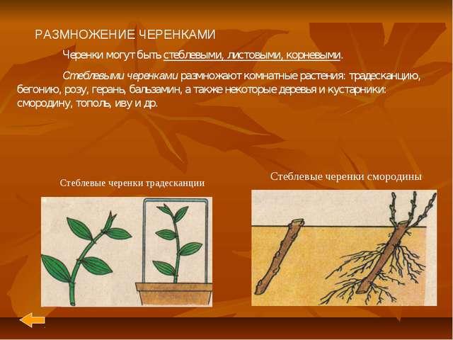 РАЗМНОЖЕНИЕ ЧЕРЕНКАМИ Черенки могут быть стеблевыми, листовыми, корневыми....