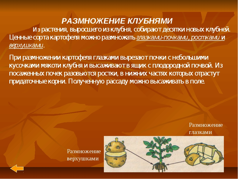 РАЗМНОЖЕНИЕ КЛУБНЯМИ Из растения, выросшего из клубня, собирают десятки новы...