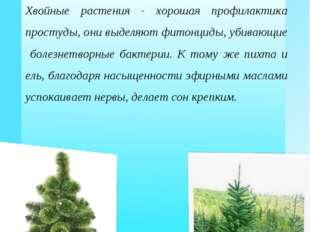 Какую ёлку ставить: «живую» или «искусственную»? Хвойные растения - хорошая