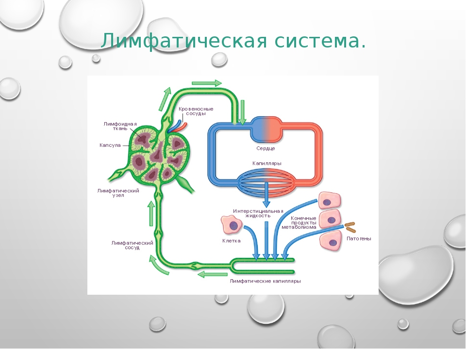 Лимфатическая система.