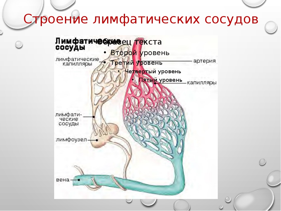 Строение лимфатических сосудов