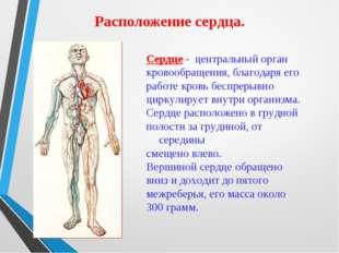 Расположение сердца. Сердце - центральный орган кровообращения, благодаря его