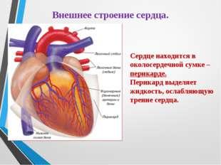 Внешнее строение сердца. Сердце находится в околосердечной сумке – перикарде.