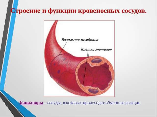 Строение и функции кровеносных сосудов. Капилляры – сосуды, в которых происхо...