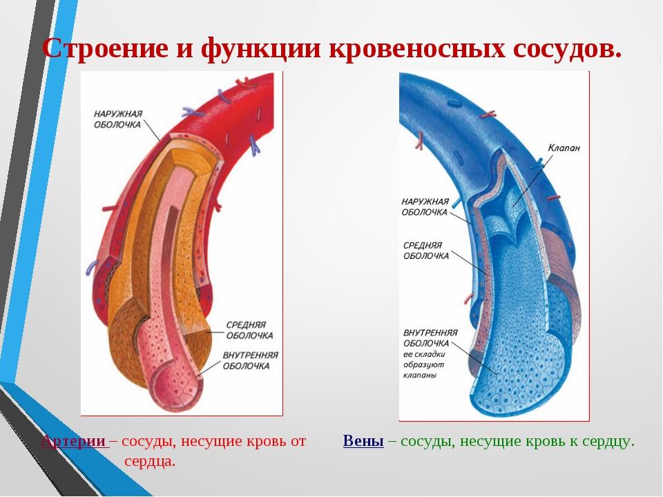Строение и функции кровеносных сосудов. Артерии – сосуды, несущие кровь от се...