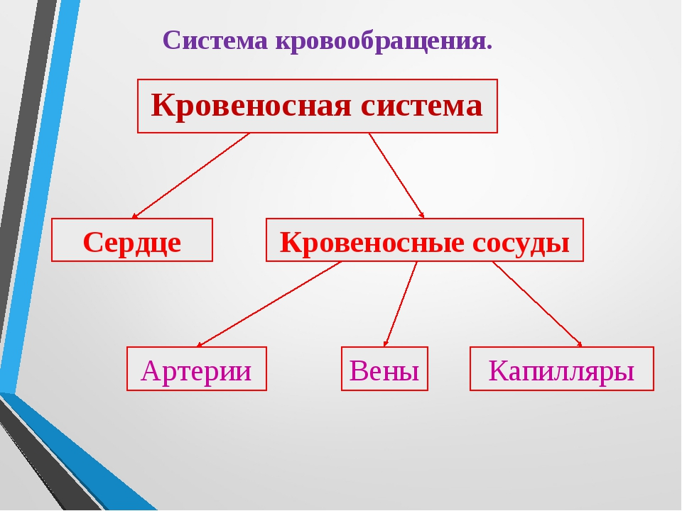 Система кровообращения. Кровеносная система Сердце Кровеносные сосуды Артерии...