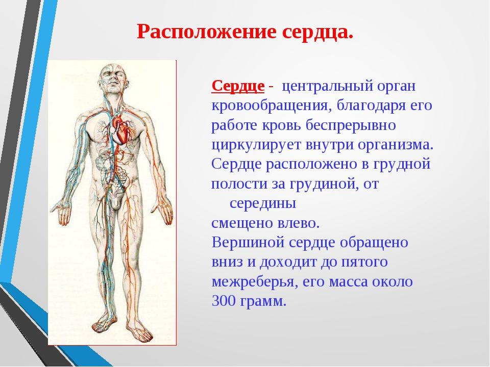 Расположение сердца. Сердце - центральный орган кровообращения, благодаря его...